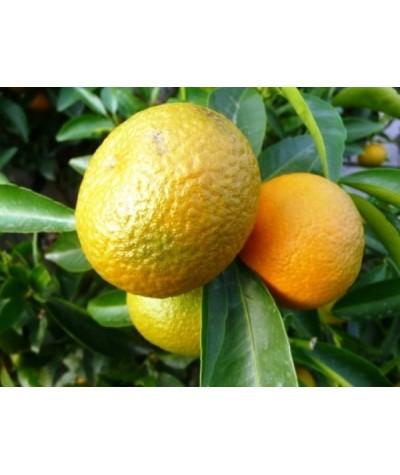 CLEMENTINIER / Citrus clementina clementine fruit sur arbre