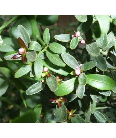 CITRON CAVIAR / Microcitrus australasica