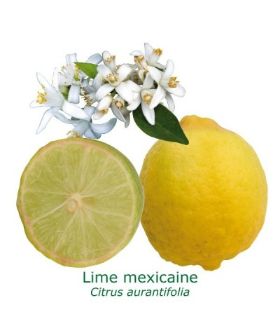 LIME MEXICAINE / Citrus aurantifolia 'Messicana'