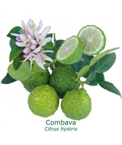 COMBAVA /  Citrus hystrix
