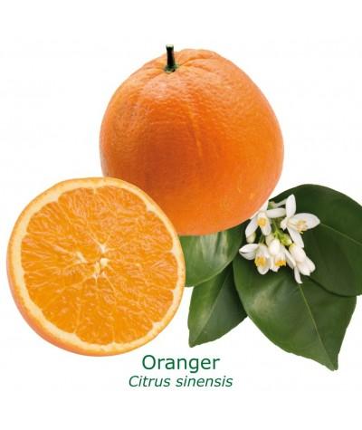ORANGER CALABRAISE / Citrus sinensis