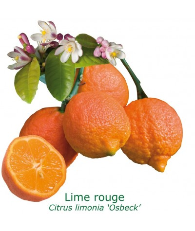 LIME ROUGE RANG PUR  / Citrus limonia 'Osbeck'