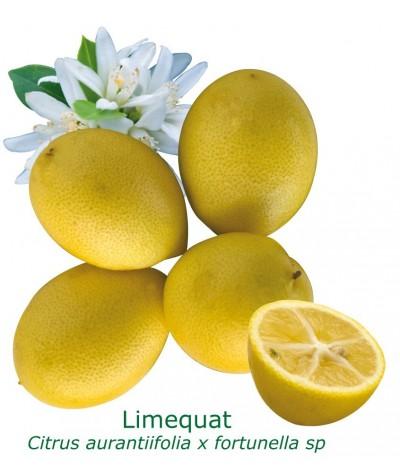 LIMEQUAT / Citrus aurantifolia x Fortunella