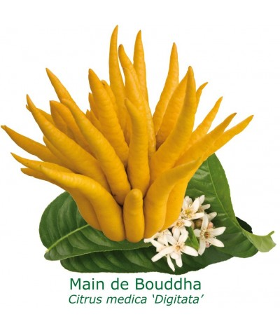 MAIN DE BOUDDHA / Citrus medica 'Digitata'