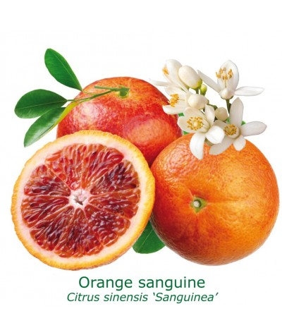 ORANGER SANGUINE / Citrus sinensis sanguinea