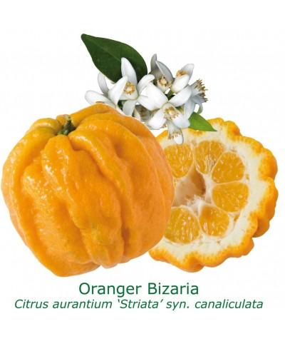 ORANGER BIZARIA / Citrus aurantium striata