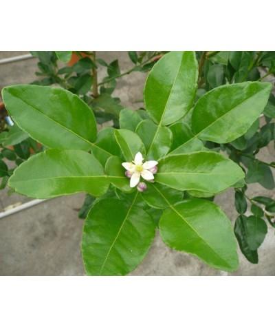 COMBAVA /  Citrus hystrix fleur