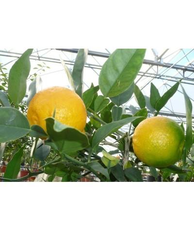 CITRONNIER YUZU /  Citrus YUZU